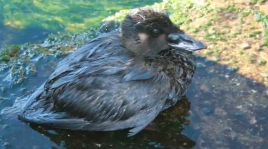 ave coberta com petroleo
