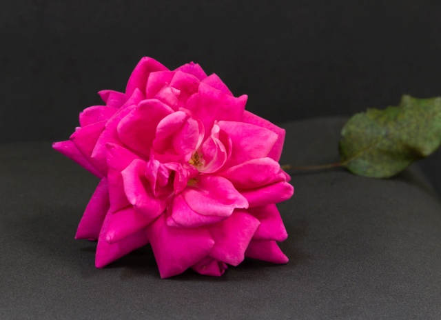 flor tipo rosa comum