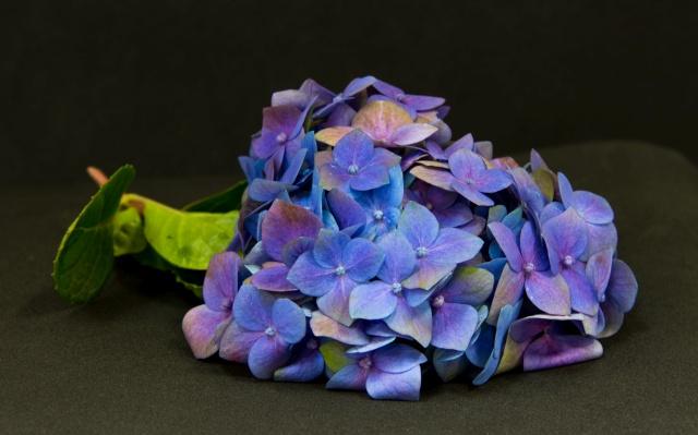 flor hortência de cor azul