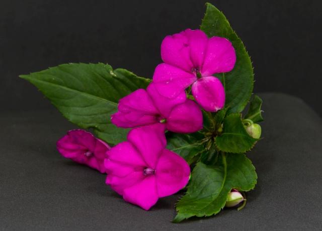 flor de cor rosada tipo beijo