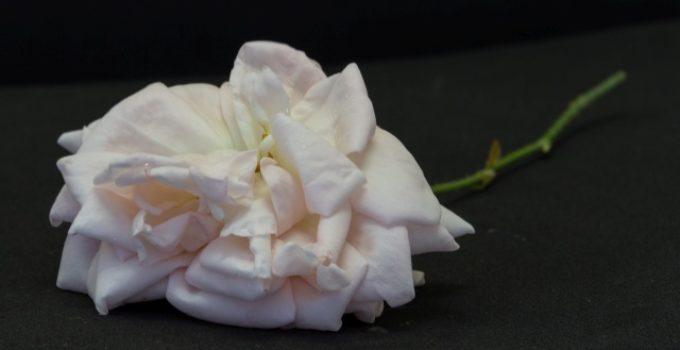 rosa com pétalas desbotadas