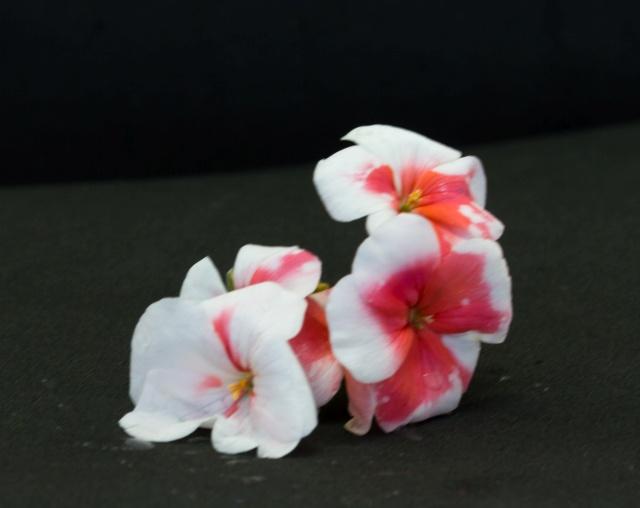 gerânio com flores desbotadas