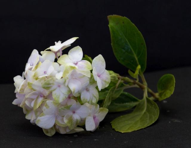 flor hortência com pétalas desbotadas